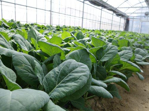 GABAを高含有するソフトケールの栽培技術
